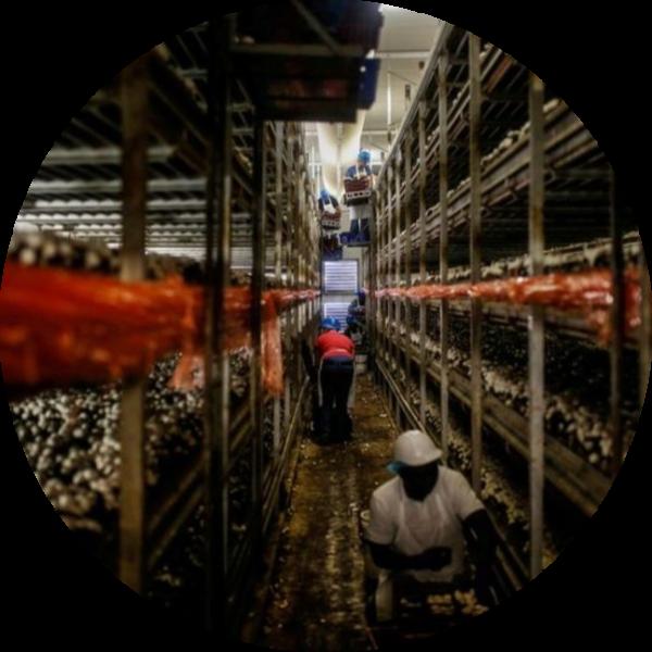Workers Picking Mushrooms